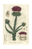Cotton Thistle, on opordum Acanthium, From Baxter's British Phaenogamous Botany, Oxford, 1838 Giclee Print by Isaac Russell