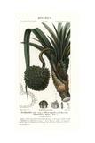 Screw Pine, Pandanus Utilis Giclee Print by Pierre J-F Turpin