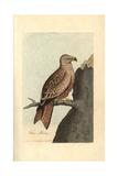 Kite, Falco Milvus, Milvus Milvus Giclee Print by George Graves