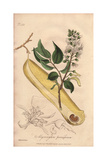 Peru Balsam Tree, Myroxylon Peruiferum Giclee Print by E. Weddell