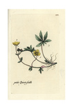 "Alpine Cinquefoil, Potentilla Crantzii, From Pierre Bulliard's ""Flora Parisiensis,"" 1776, Paris Giclee Print by Pierre Bulliard"