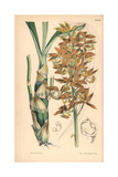 Mr. Carton's Mormodes Orchid, Mormodes Cartoni Giclee Print by Walter Hood Fitch