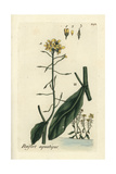 "Great Yellowcress, Rorippa Amphibia, From Pierre Bulliard's ""Flora Parisiensis,"" 1776, Paris Giclee Print by Pierre Bulliard"