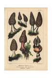 Black Morel Giclee Print