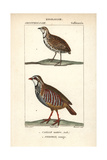 Rain Qual And Red-legged Partridge From Sainte-Croix's Dictionary of Natural Science: Ornithology Reproduction procédé giclée