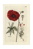 "Corn Poppy, Papaver Rhoeas, From Pierre Bulliard's ""Flora Parisiensis,"" 1776, Paris Impression giclée par Pierre Bulliard"