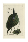 "Common Plantain, Plantago Major, From Pierre Bulliard's ""Flora Parisiensis,"" 1776, Paris Giclee Print by Pierre Bulliard"