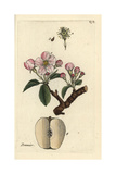 "Apple, Pyrus Malus, From Pierre Bulliard's ""Flora Parisiensis,"" 1776, Paris Giclee Print by Pierre Bulliard"