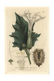 Thorn Apple, Datura Stramonium, From William Baxter's British Phaenogamous Botany, 1834 Giclee Print by Isaac Russell