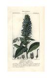 Great Blue Lobelia, Lobelia Siphilitica Giclee Print by Pierre J-F Turpin