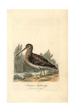 Common Snipe, Gallinago Gallinago Giclee Print by George Graves
