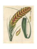 Needleleaf Airplant, Tillandsia Setacea Giclee Print by William Jackson Hooker
