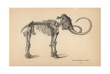 Fossil Skeleton of Siberian Elephant Or Mammoth Giclee Print