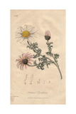 Spanish Chamomile Or Pellitory, Anacyclus Pyrethrum Giclee Print by William Clark