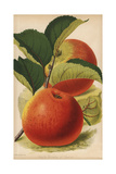 Beauty of Hants, Apple Variety, Malus Domestica Giclee Print by J.L. Macfarlane