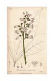 Angostura Tree, Angostura Trifoliata Giclee Print by G. Reid