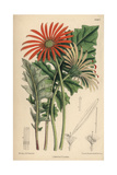 Gerbera Jamesoni, Orange Flower Native To the Transvaal Reproduction procédé giclée par Matilda Smith
