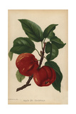 Apple, Mr. Gladstone Variety, Malus Domestica Giclee Print by J.L. Macfarlane