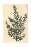 Twiggy Baeckea, Baeckea Virgata Giclee Print by John Curtis