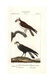 Osprey, Pandion Haliaetus, And Caracara, Caracara Plancus Giclee Print by Pierre J-F Turpin
