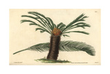 Sago Cycas Or Narrow-leaved Cycas, Cycas Revoluta Giclee Print by Fr. Hyde