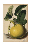 Warner's King Apple Variety, Malus Domestica Giclee Print by J.L. Macfarlane