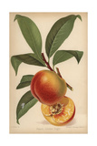 Peach Cultivar, Golden Eagle, Prunus Persica Giclee Print by Walter Hood Fitch