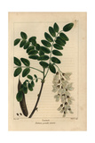 Locust Tree From Michaux's North American Sylva, 1857 Impression giclée par Pancrace Bessa