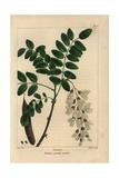 Locust Tree From Michaux's North American Sylva, 1857 Giclée-Druck von Pancrace Bessa