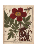 Crimson Flowered Peony with Leaves, Seeds, Roots Giclee Print by Friedrich Gottlob Hayne