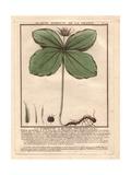 Herb Paris, True-lover's Knot, Paris Quadrifolia Giclee Print by Pierre Bulliard