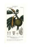 Breadfruit, Artocarpus Altilis Giclee Print by Pierre J-F Turpin