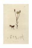 Ceratophyllus Elongatus, Ischnopsyllus Elongatus, Yellow Bat's Flea Giclee Print by John Curtis