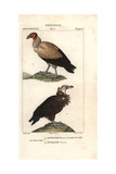 King Vulture, Sarcoramphus Papa, And Griffon Vulture, Gyps Fulvus Giclee Print by Jean Gabriel Pretre