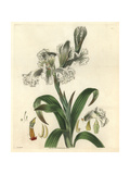 Large-flowered Neottia, Neottia Grandiflora Giclee Print by William Jackson Hooker