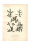 Jjuniper Tree with Berries, Lebanon Cedar, And Spruce Giclee Print by Edouard Maubert