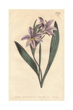 Sweet Scented Babiana with Pale Lilac Flowers, Babiana Plicata Giclee Print by Sydenham Edwards