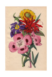 Monarda, Lindley's Oenothera, Elegant Madia And Sisyrinchum Giclee Print by James Andrews