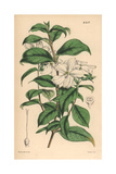 Jessamine Flowered Heinsia, Heinsia Jasminiflora Giclee Print by Walter Hood Fitch