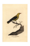 Golden Oriole, Oriolus Oriolus Giclee Print by George Graves