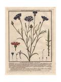Cornflower Or Bluet, Centaurea Cyanus Giclee Print by Pierre Bulliard