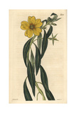 Great-flowered Jussieua, Jussieua Grandiflora Giclee Print by John Curtis