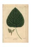 Cotton Tree From Michaux's North American Sylva, 1857 Reproduction procédé giclée par Pancrace Bessa