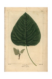Cotton Tree From Michaux's North American Sylva, 1857 Giclee Print by Pancrace Bessa