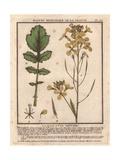 Wild Rocket Or Arugula, Eruca Sativa, Brassica Eruca Giclee Print by Pierre Bulliard