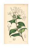 Peltale Ariopsis, Ariopsis Peltata Giclee Print by Walter Hood Fitch