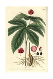 Goldenseal Or American Hydrastis, Hydrastis Canadensis Giclee Print by C. W. Short