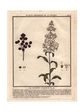 """Wild Privet, Ligustrum Vulgare, From Pierre Bulliard's """"Flora Parisiensis,"""" 1776, Paris Giclee Print by Pierre Bulliard"""