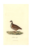Red-legged Or Guernsey Partridge, Alectoris Rufa Giclee Print by George Graves