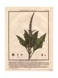 Good King Henry, Chenopodium Bonus-henricus Giclee Print by Pierre Bulliard